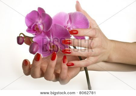 Beautiful Hand With Red Manicure Holding Pink Orchid Flower. Isolated