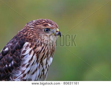 Cooper's Hawk Headshot