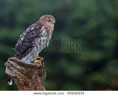 A Cooper's hawk (Accipiter cooperii) perched on a post. poster
