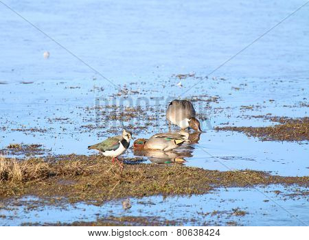 Lapwing (Vanellus vanellus) with a Teal and a Pintail in background