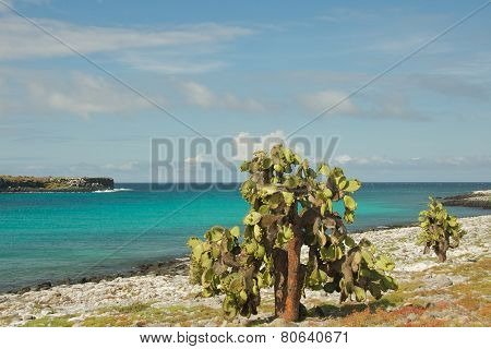 Giant Opuntia Cactus in South Plaza Island