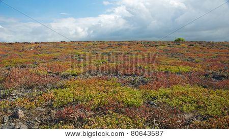 Colorful Sesuvium in South Plaza Island