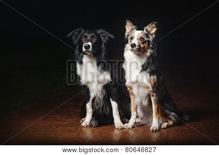 Two Dogs Border Collies