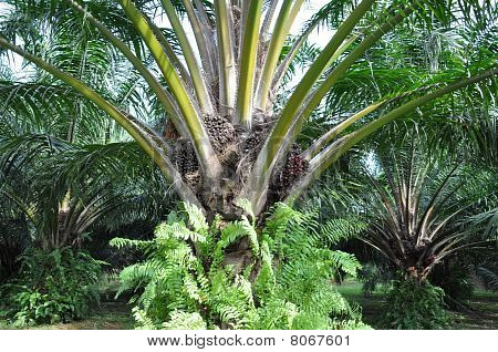 Close up of palm oil tree