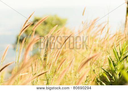 Poaceae Grass Flower