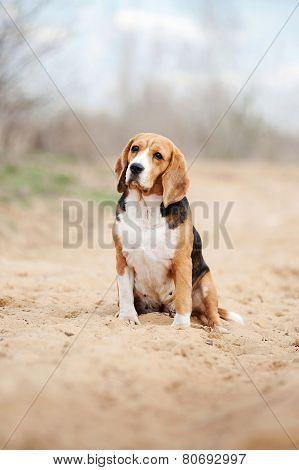 Serious Beagle Dog