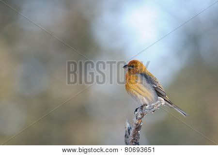 Grosbeak  on a branch.