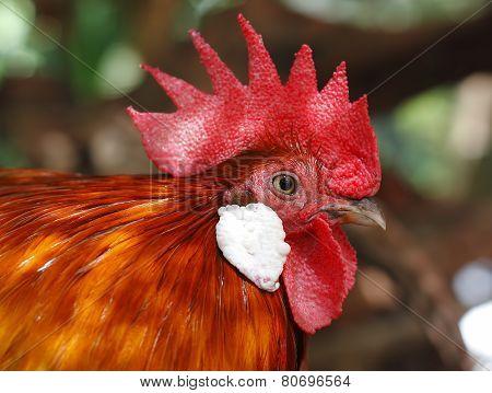Red Junglefowl Gallus Gallus
