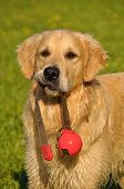 Beautiful Golden Retriever playing with its toy poster