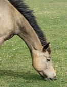 A pony in the new-forest UK grazing with neck stretched out. poster