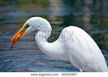 White heron eating koi fish