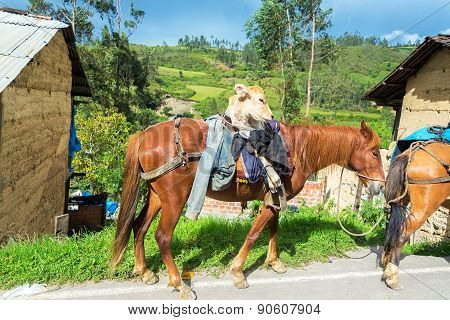 Cow On A Horse