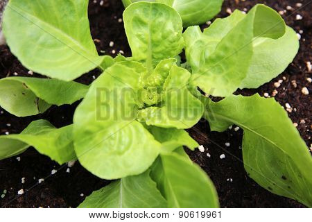 Young Butterhead Lettuce Plant