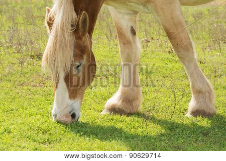 Blond Belgian draft horse grazing in spring sun