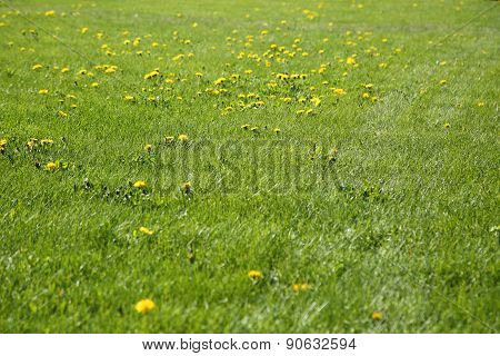 Blooming Dandelions At Sunny Day