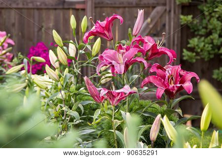 Lily Flowers In The Foliage Closeup
