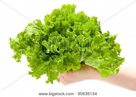 Green Leaf Lettuce In Man's Hand