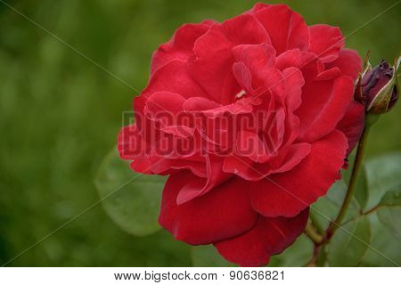 Rose Flower In The Foliage Closeup