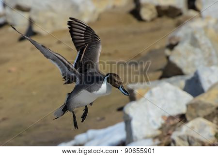 Landing Pintail Duck