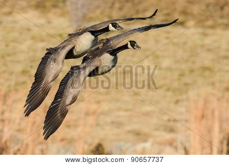 Two Canadian Geese In Flight
