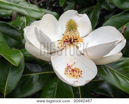 Magnolia Flower In Full Bloom
