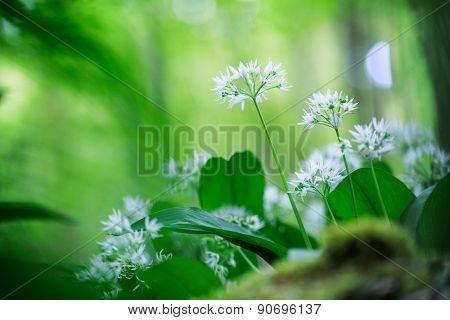 wild garlic, white spring wildflower, Allium ursinum, wild forest flower poster