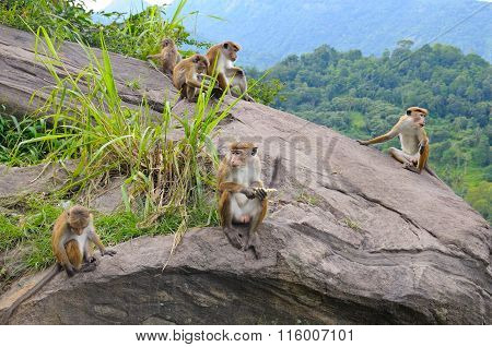 Family Of Wild Monkeys On The Ledge