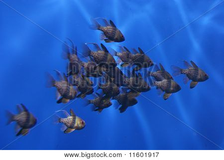 Pyjama Cardinalfish - Sphaeramia Nemanoptera