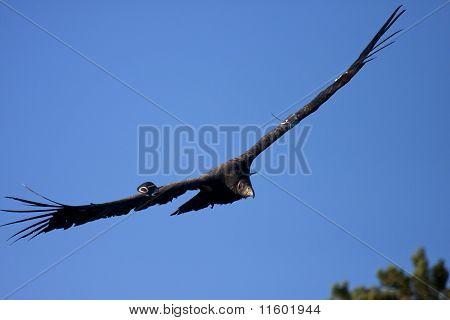 Endangered California condor