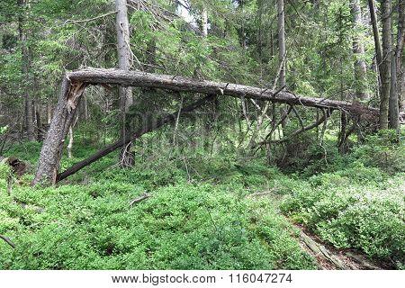 Woods In The Natural Preserve Kladska Peats