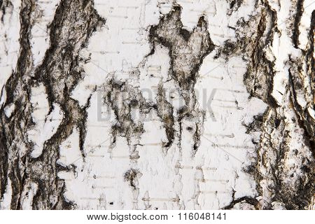 Birch Bark With A Heart. Defect Crust In The Form Of Heart