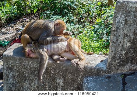 A Monkey Picks The Lice From Another Monkey