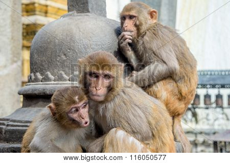 Three Rhesus Macaque Monkeys