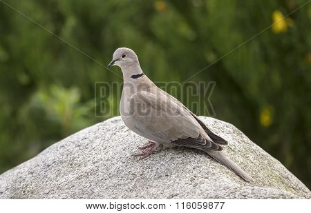 Collared Dove Streptopelia decaocto perched on a rock