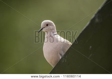 Collared Dove Streptopelia decaocto perched on guttering