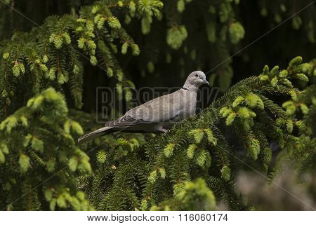 Collared Dove Streptopelia decaocto perched on a branch
