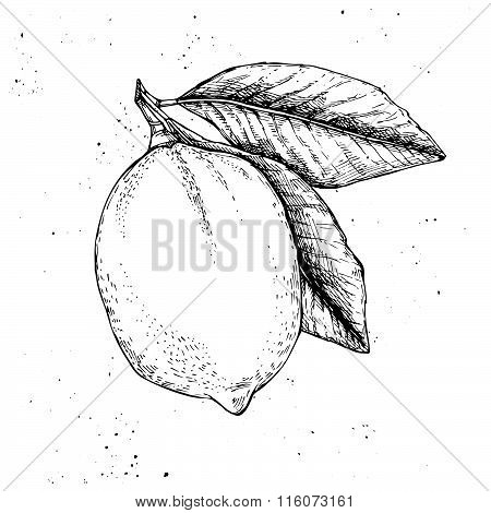 Hand Drawn Vector Illustration - Lemon