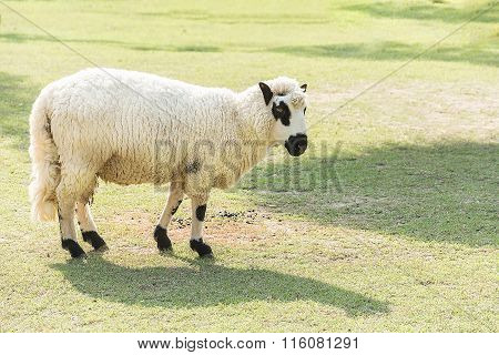 Kerry Hill sheep in green grass fields beautiful sheep on meadow