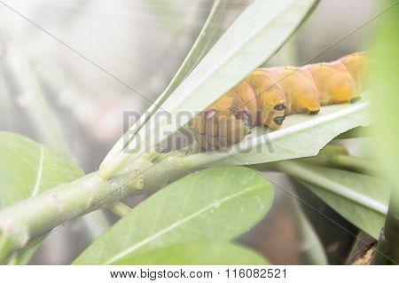 Yellow Caterpillar on green leaf