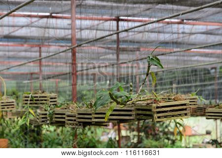 Dendrobium Orchid seedlings plant nursery in greenhouse poster