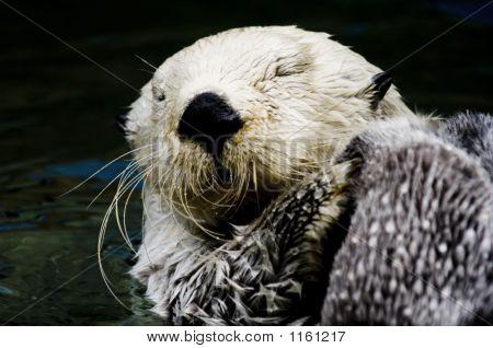 Sea Otter Washing