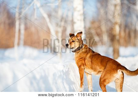 Strong Healthy Mongrel Dog Portrait In Winter Forest.