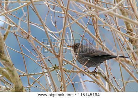 Female Eurasian Blackbird, Common Blackbird with yellow eye ring and bill (Turdus merula) perching on a tree in Europe