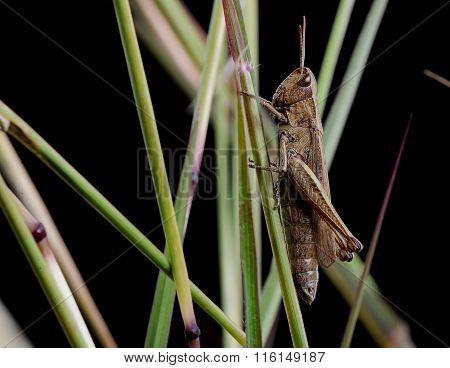 single grasshopper on a blade of grass