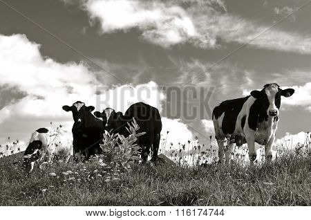 Black and white dairy cows in a pasture