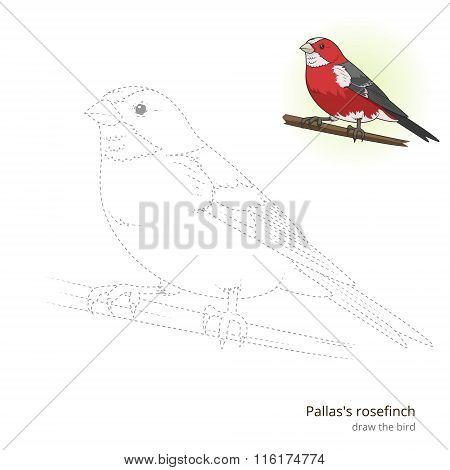 Pallas rosefinch bird learn to draw vector
