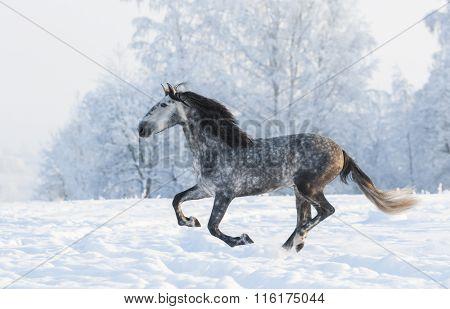 Grey Andalusian stallion run gallop in winter