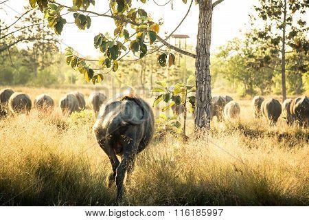 Thai Buffalo, Life' Machine Of Farmer.
