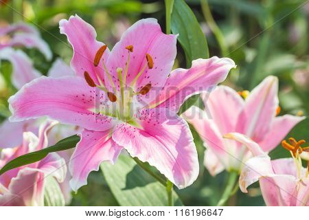 Selective Focus Of Colorful Lily Flowers With Sun Light ,selective Focus