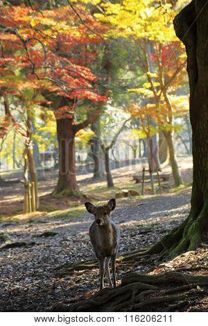 Nara deer roam free in Nara Park Japan